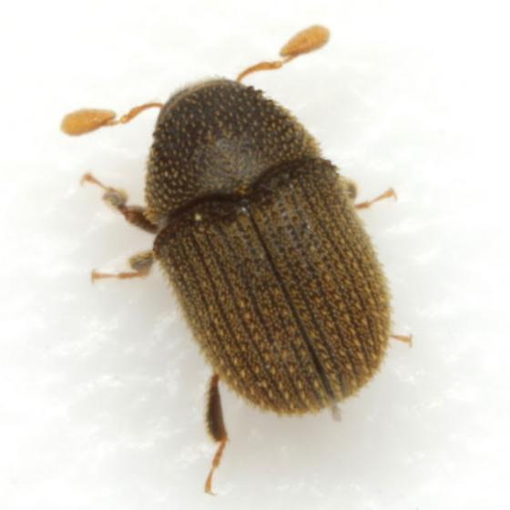 Chramesus chapuisii LeConte - Chramesus chapuisii - female