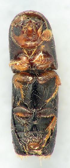 Scolytini #3 - Monarthrum fasciatum