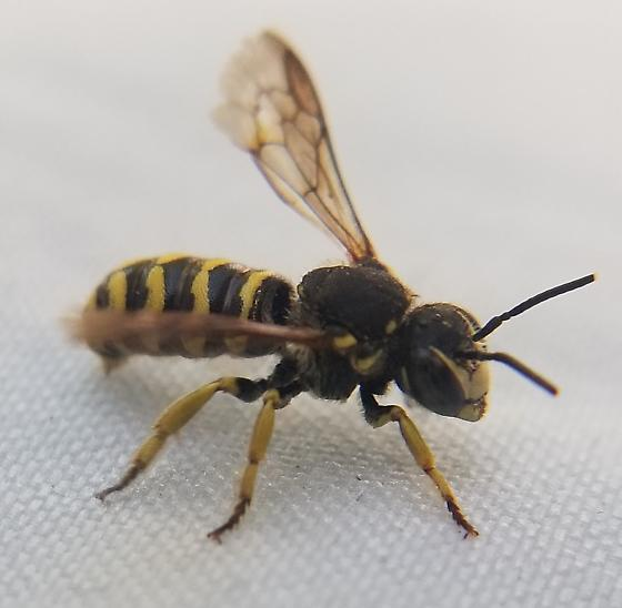 Short Wasp-like Bee - Dianthidium