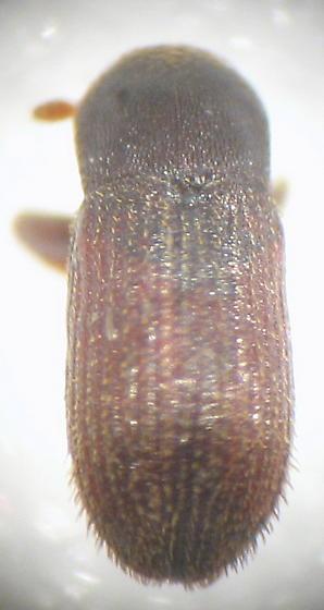 Bostrichidae or Scolytinae? - Cnesinus strigicollis