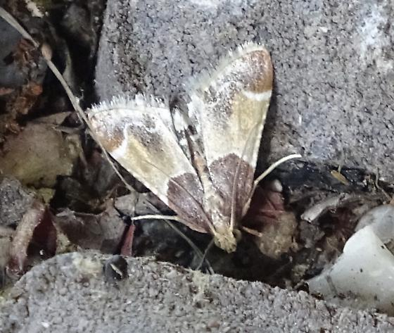 Moth with forest camouflage colors, 13mm long - Pyralis farinalis