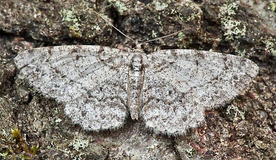 UI Moth 090110-1 - Protoboarmia porcelaria - female