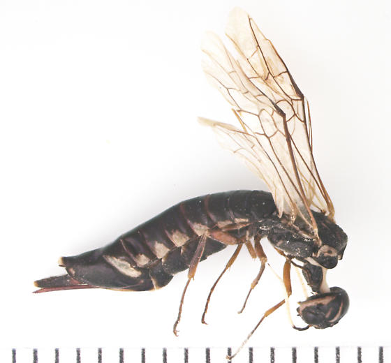 Xiphydriidae, lateral - Xiphydria maculata - female