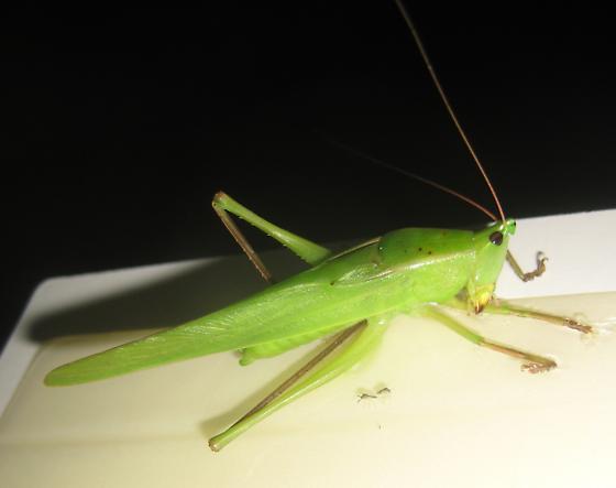 Tettigoniidae - Neoconocephalus - male
