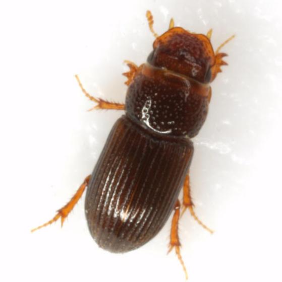 Platytomus longulus (Cartwright) - Platytomus longulus
