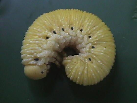 yellow beetle larva - Cimbex americanus