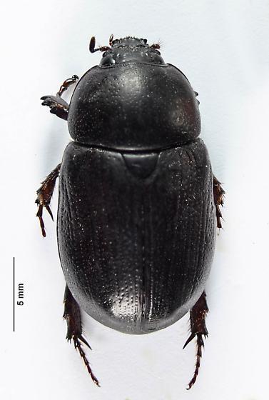 Scarab of sorts - Euetheola humilis