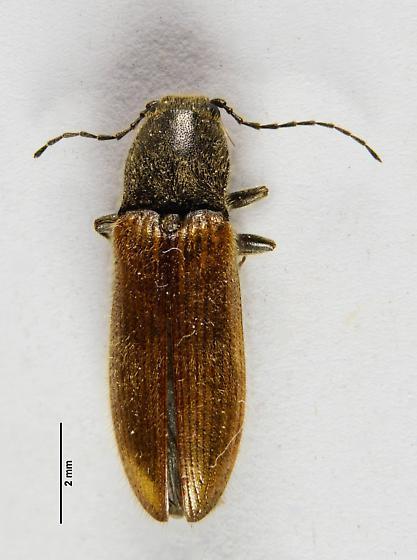 Hairy Clicker... - Hemicrepidius oregonus