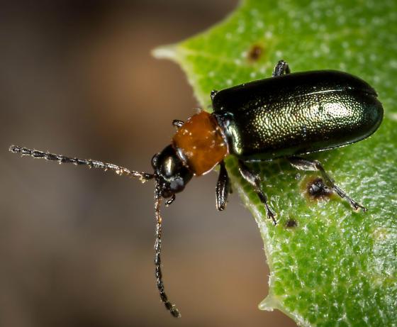 Beetle - Scelolyperus