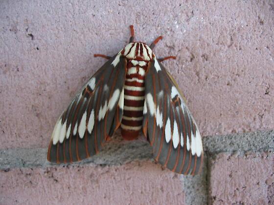 Splended royal moth, Citheronia splendens sinaloensis - Citheronia splendens