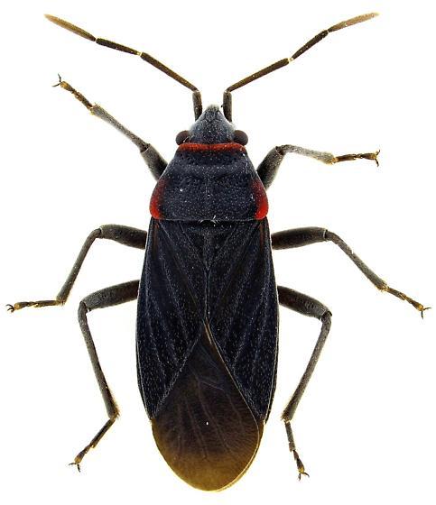 Male, Melacoryphus rubicollis? - Melacoryphus rubicollis - male