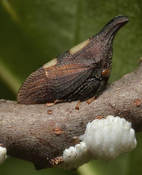 Enchenopa - Enchenopa on-ptelea