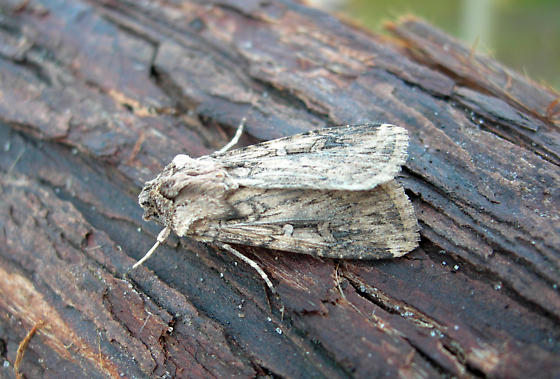 Moth - Feltia subterranea
