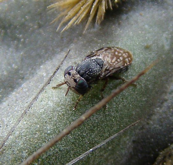 Fly - Notogramma? - Stictomyia longicornis