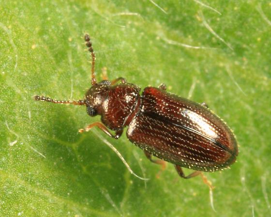 beetle - Loberus impressus - male