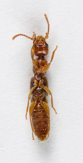 Paederinae perhaps?
