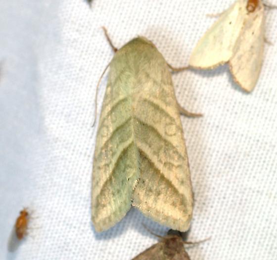 moth - Chloridea