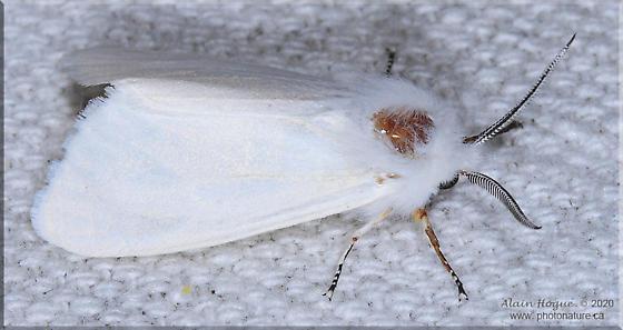 Erebidae - Hyphantria cunea