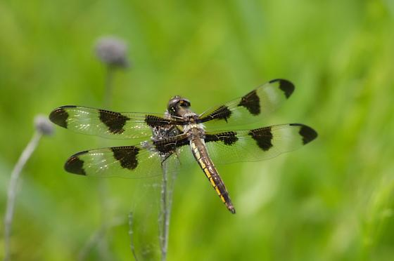 Young Twelve-spotted Skimmer - Libellula pulchella - male