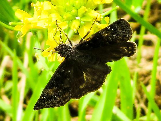 Duskywing - Erynnis lucilius