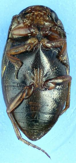 mini Diver - Liodessus