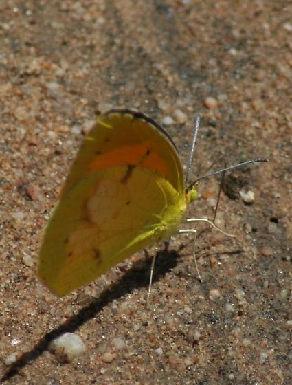 yellow butterfly - Abaeis nicippe