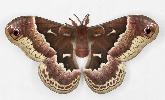 Promethea moth? - Callosamia promethea - female