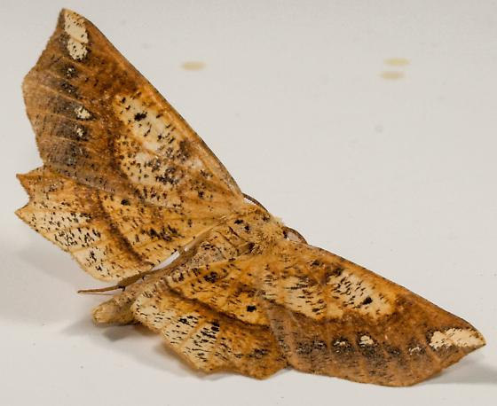 Moth to porch light  - Euchlaena - male