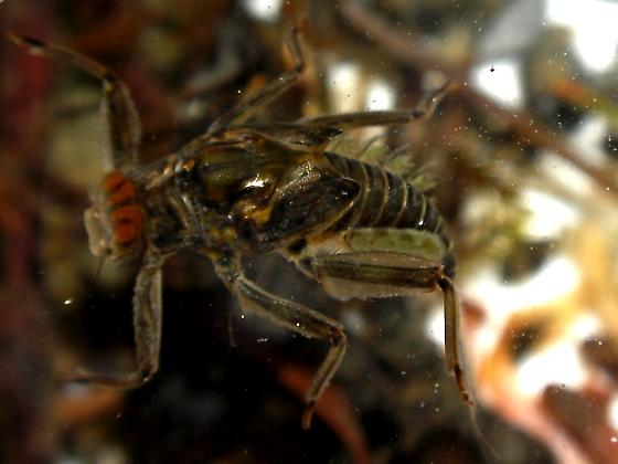 Olympic Peninsula Mayfly - Drunella doddsii