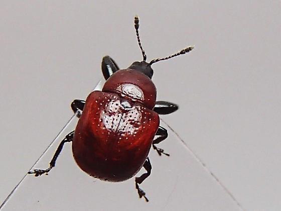 Attelabus nigripes? - Synolabus nigripes