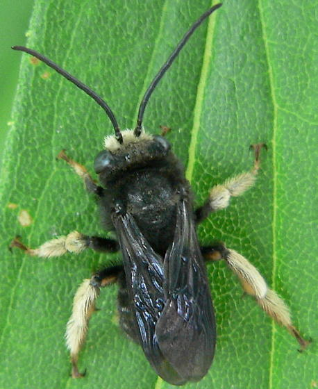 Two-spotted Long-horned Bee - Melissodes bimaculatus - male