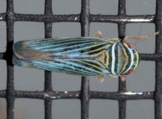 Sharpshooter - Tylozygus bifidus