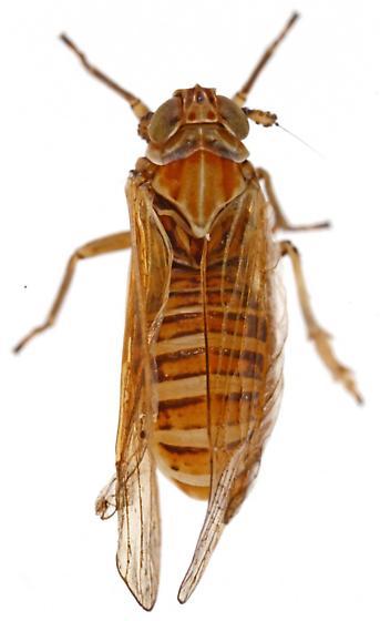 Delphacinae - Nothodelphax venusta