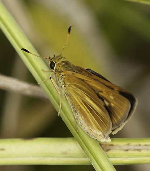 Magic Marsh skipper - Euphyes dion