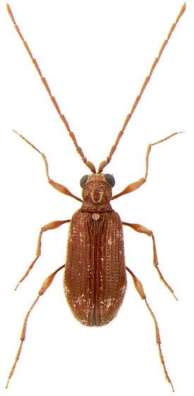 Ptinus sp. - Ptinus fur - male