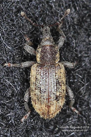 Listronotus sp