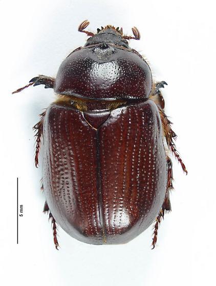 Oxygrylius? - Oxygrylius ruginasus