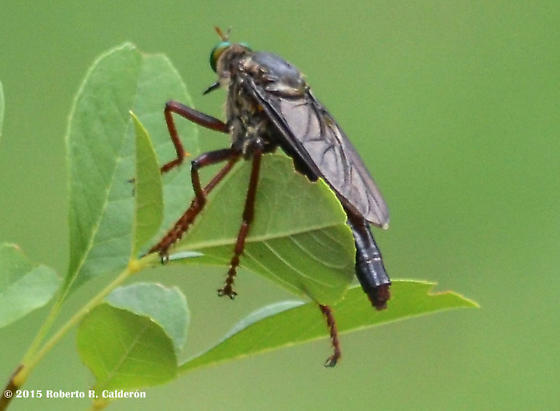 Dark Brown & Black Green-eyed Robber Fly - Microstylum morosum - female