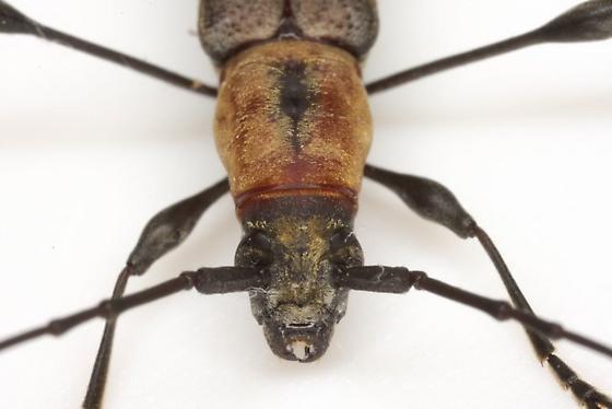 Rhopalophora cupricollis Guérin-Méneville - Rhopalophora cupricollis