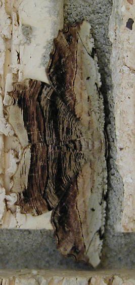 Moth looks like tree bark - Lytrosis unitaria