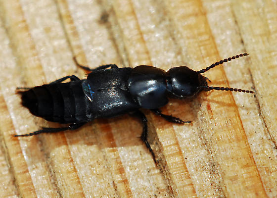 Rove beetle: Is that as good an ID as it gets? - Quedius explanatus