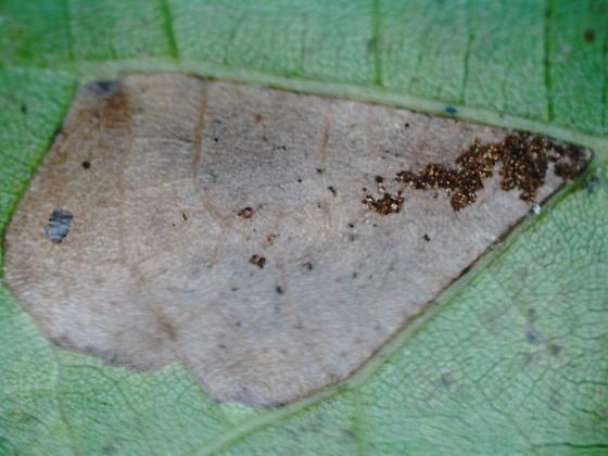 St. Andrews leaf miner on Quercus coccinea SA1861 2020 8