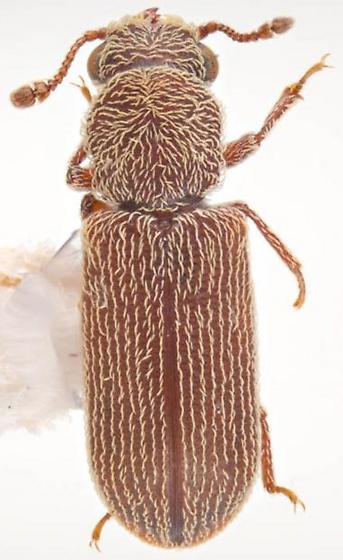 Lyctus caribeanus