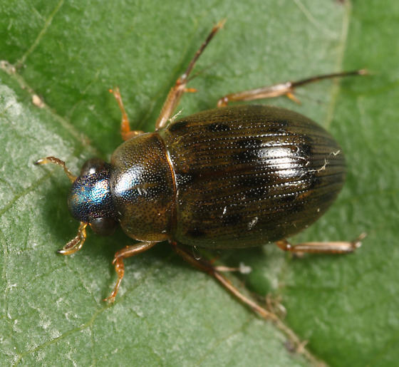 Water Scavenger Beetle - Berosus hatchi - male