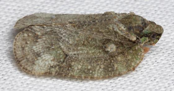 unknown bug - Flataloides scabrosus