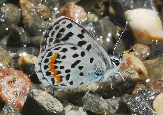 Square Spotted Blue on The Rocks - Euphilotes bernardino