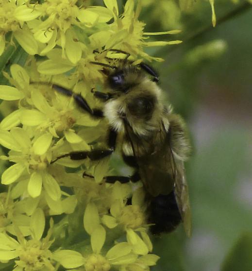 Bees on Solidago speciosa - Bombus impatiens - male