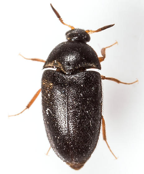 Beetle - Attagenus brunneus - male