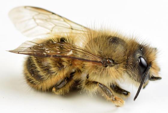 hornfaced bee - Osmia cornifrons - female