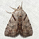 Alabama Underwing - Hodges #8869 - Catocala alabamae